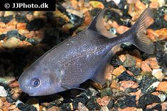 Petrocephalus bovei guineensis 1