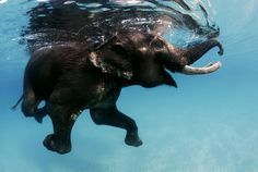 Replaced by motorised boats, Rajan the swimming elephant, no longer needs to swim miles between islands to work for his keeper, known as a 'mahout'. Rajan still swims for ten minutes twice a day, completing about 500 yards before heading back to shore.