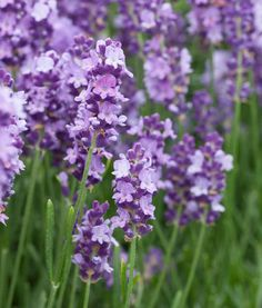Lavandula Angustifolia 'Betty's Blue' , English Lavender 'Betty's Blue', Lavender 'Betty's Blue', Lavandula 'Betty's Blue', Purple flowers