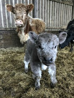 Animals, especially baby animals, can make very cute sounds and noises. Just listen how all this puppies bark and howl, how kittens meow, noises of cute baby Cute Baby Cow, Baby Cows, Cute Cows, Cute Babies, Baby Elephants, Fluffy Cows, Fluffy Animals, Animals And Pets, Wild Animals
