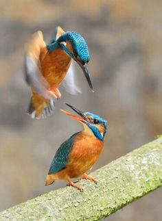 IJsvogels voor paring