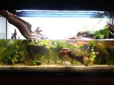 Aménagement aquarium pour cynops pyrrhogaster [finalement pour tylototriton verrucosus]