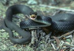 Black Racer Snake Images
