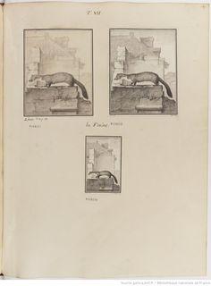 Fouine, Figures pour l'histoire des quadrupèdes, par M. de Buffon.. Tome II / Déssins [sic] originaux par DeSeve et Buvée, avec les Gravures des Editions in12 et in4° vol. 5 à 7.   1755-1758