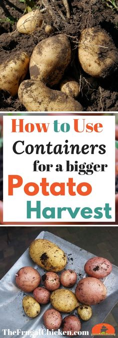 Growing potatoes in containers can give you a bigger harvest! Here's how to get started in your backyard!