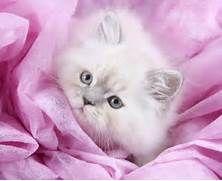 Teacup Persian Kitten InformationUltra Rare Persian Kittens For Sale ...