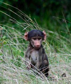 A little baboon