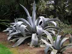 Agave franzosinii (hardy to in the uk, but need VERY well-drained soil) Large Planters, Blue Leaves, Palette, Yard, Gardening, Plants, Botany, Patio, Lawn And Garden