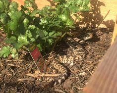 Speaking of critters in gardens my cilantro has been overtaken!