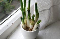 Plant roten av vårløk, purre ++ og få mer