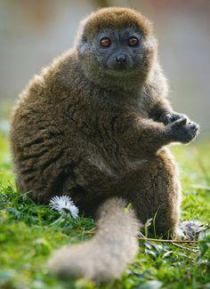 Bamboo or Gentle Lemur