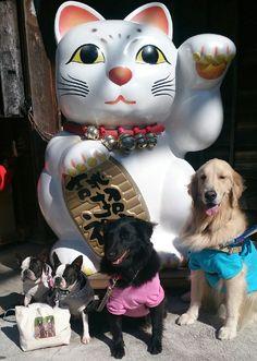 鈴ちゃん(シエルティ×ゴールデンのMIX)/おかげ横丁にて/仲良しワン友と一緒にお泊まり。翌日におかげ横丁をぐるりとまわり、招き猫の前で記念写真。写真を終えたら、近くで見ていた男の子が拍手をしてくれました。