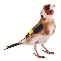 Le chardonneret élégant : oiseaux du jardin - animalerie Truffaut conseils Mangeoires, nichoirs et alimentation pour oiseaux du jardin Truffaut