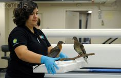 This photo taken June 14, 2014 shows Smithsonian exhibitions expert Megan Dattoria carring Martha, right, an extinct passenger pigeon, once the most plentiful bird on the planet, who went extinct in September 1914 when Martha died in public at the Cincinnati zoo, for her new exhibit at the Smithsonian's Natural history Museum in Washington. - 42-59579271 - Rights Managed - Stock Photo - Corbis