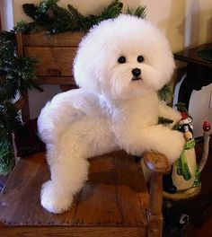 This is a custom made, life-like soft sculpture of your Bichon. $1800 ( I had two Bichons, and they looked just like this, so this little one tugs at my  heart ;-) @DogsOhMy