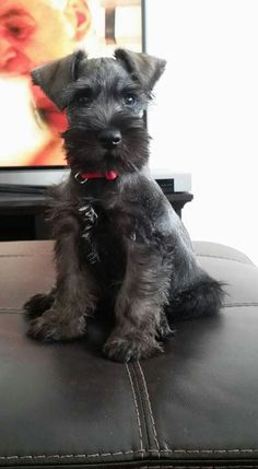 All About Miniature Schnauzer Clothes Source by daisymayforbes The post Miniature Schnauzer Puppies Brown appeared first on Dogs and Diana. Source by The post Miniature Schnauzer Puppies Brown appeared first on Stubbs Training. Black Schnauzer, Miniature Schnauzer Puppies, Giant Schnauzer, Schnauzer Puppy, Standard Schnauzer, Cute Puppies, Cute Dogs, Dogs And Puppies, Doggies