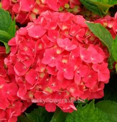{Coral Hydrangeas} Would love to find one of these for one of my flowerbeds. Hydrangea Macrophylla, Hydrangea Colors, Hydrangea Garden, Garden Shrubs, Hydrangea Flower, Growing Hydrangea, Full Sun Flowers, Amazing Flowers, Gardening