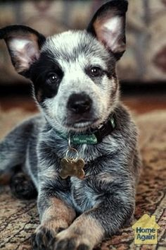 American cattle dog ✿⊱╮ by melisa Cute Puppies, Cute Dogs, Dogs And Puppies, Doggies, Baby Dogs, Animals And Pets, Baby Animals, Cute Animals, Australian Shepherds