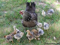 Mama hen and her 12 chicks. One of 27 photos in the latest Friday Farm Fix on Farmgirl Fare.