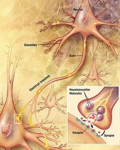 How #neurons transmit information.  Signals move down the axon of one neuron to the cell body and dendrites of the next.
