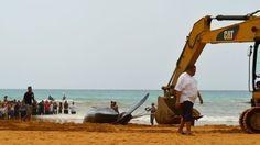 Al cachalote se le practicó una necropsia en la arena por parte de personal experto y posteriormente fue enterrado en la misma playa. Foto José E. Maldonado / www.miprv.com