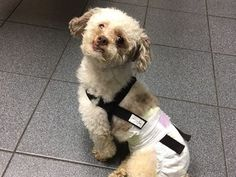 """3/17/17 PLEASE SHARE!! Two weeks ago, we got a call from the New Hope Department at NYC ACC. There was a little dog who had been surrendered by his owners because he was paralyzed and incontinent . . . since November! For over four months his """"family"""" left him to suffer, unable to walk, control his bladder or bowels...."""