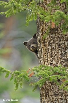 Learn about the featured wildlife species for National Wildlife Week Beautiful Creatures, Animals Beautiful, Nature Pictures, Animal Pictures, Wildlife Week, Baby Animals, Cute Animals, Unique Animals, Cute Bear