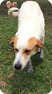 Royse City, TX - Great Pyrenees/Labrador Retriever Mix. Meet Kim a Dog for Adoption.