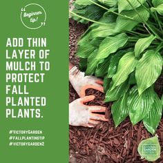 Winter Protection: Mulching with wood chips or leaf litter is a good way to protect the crown of the plant from cold damage in winter. Organic Gardening Tips, Victory Garden, Gardening Advice, Perennials, Autumn Landscape, Planting Flowers, Fall Perennials, Gardening Tips, Fall Plants