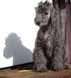 Bedlington Terriors, sooo adorable!