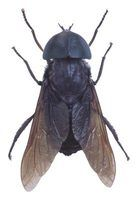 Horsefly wings are often dark instead of clear or light-colored.