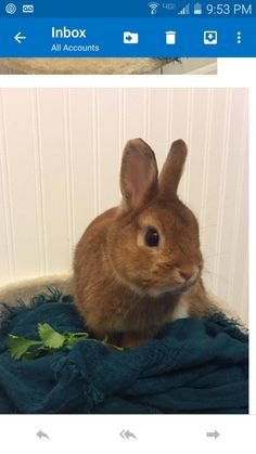 Meet tiny, an adoptable Netherland Dwarf looking for a forever home. If you're looking for a new pet to adopt or want information on how to get involved with adoptable pets, Petfinder.com is a great resource.