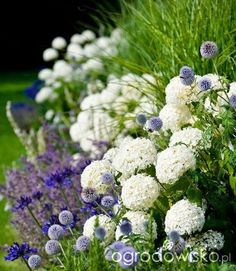 Hydrangea Annabelle with Agapanthus, Salvia 'Mainacht' and Echinops retro    Ogrodowisko