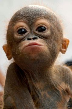 orangutan - adorable baby monkey or old man with a bad tan?