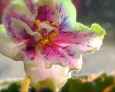 """Soft Violet Monday"" Fine Art Print by Linda C Smith #flower #violet #AfricanViolet #photography $62.00"
