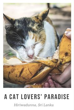 Sri Lanka Travel Tips: Why is Hiriwadunna a paradise for cat lovers? Click here to find out: http://www.traveling-cats.com/2015/03/cats-from-hiriwadunna-sri-lanka.html (cats, cat lovers, Hiriwadunna Sri Lanka, Sri Lanka travel tips)