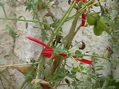 Pés de tomates em baldes, produzindo!