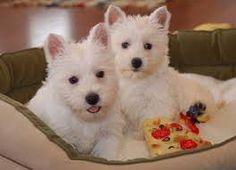 Resultado de imagen para westie puppy