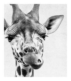 Conjunto de 2 impresiones animales - jirafa y cebra (elegir cualquier animal dos estampas de mi tienda!) Mira más de un centenar más impresiones infantiles en nuestra tienda de decoración infantil. Vivero arte hace gran personal regalos en baby shower o bienvenida de un ser querido en