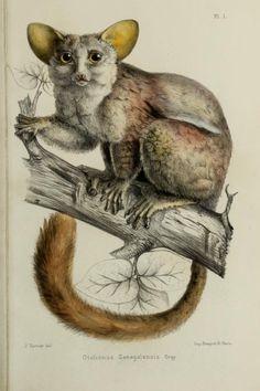 Bushbaby, T.1 atlas (1883-1885) - Faune de la Sénégambie / Tremeau de Rochebrune, Alphonse, - Biodiversity Heritage Library