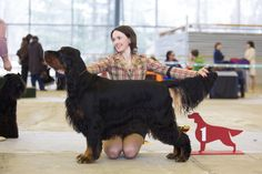 Gordon setter. One of my ultimate favourites.