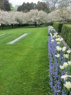 Bluebells and Spring Green tulips with white crabapples in bloom
