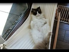Check out his triumphant final episode here: | This Cat Worked Really Hard To Get Into His Hammock