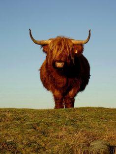 Scottish Highland Bull  Please follow my blog: www.kristian192.blogspot.com