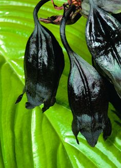 prior to blooming, the Black Bat Plant resembles sleeping bats hanging downward from their roost Unusual Plants, Rare Plants, Exotic Plants, Orchid Plants, Dark Flowers, Unusual Flowers, Beautiful Flowers, Bat Plant, Trees To Plant