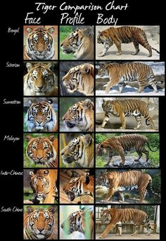 The tiger (and there& not just one!) The tiger is the largest wild cat species on the globe. Easily recognized by its orange and bl. Tiger Species, Wild Cat Species, Wild Cat Breeds, Endangered Species, Animals And Pets, Funny Animals, Cute Animals, Wild Animals, Baby Animals