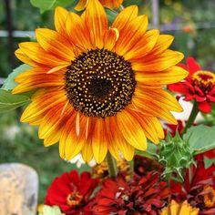 Firecracker dwarf sunflower 2-3 feet
