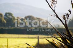 Rural Scene with Harakeke (New Zealand Flax) royalty-free stock photo Royalty Free Images, Royalty Free Stock Photos, New Zealand Flax, Agriculture Photos, Flax Plant, Image Now, Past, Scene, Photography