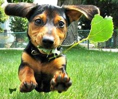 Happy Daschund Running Jump » One 4 Pets | Pet Shots