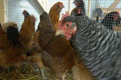 Jack's Journal: Rent-A-Chicken - Northern Michigan's News Leader